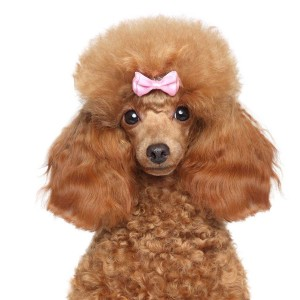 Poodle style