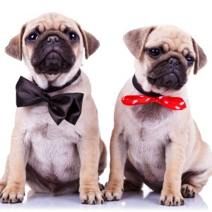 Adorable pugs in bows (sent in by Angela M. of Atlanta, GA)