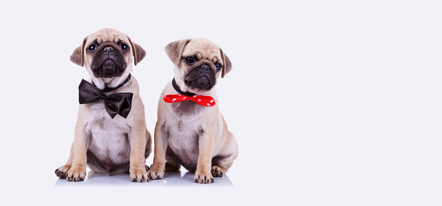 pugs in bow ties